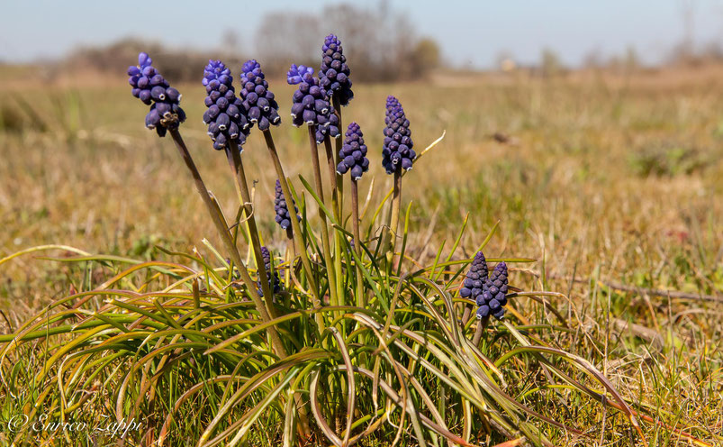 Bardello: Muscari, prime fioriture