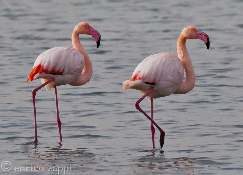 I colori dell'alba e del tramonto.........nei fenicotteri: uccelli trampolieri molto affascinanti, dotati di un eleganza e di una linea uniche.