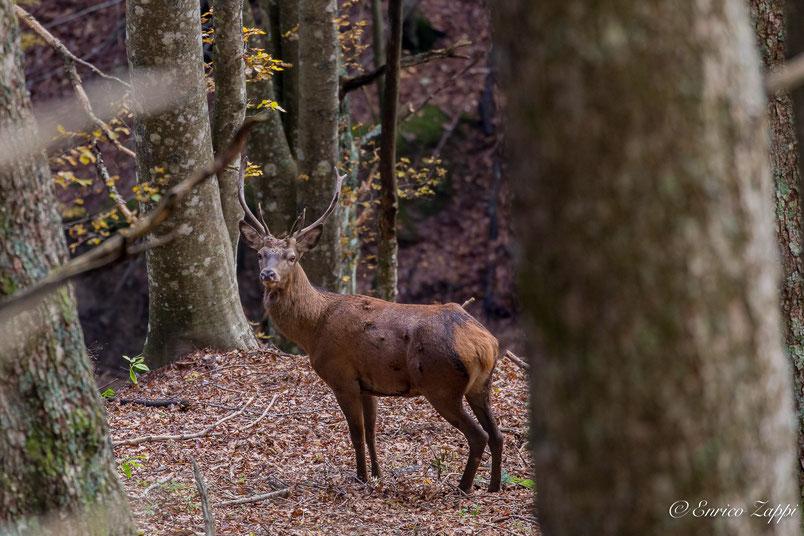 Giovane Cervo maschio poco sotto alla Burraia - Campigna FC