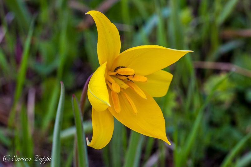 Tulipano selvatico (Tulipa sylvestris) è l'antenato del tulipano che oggi si trova dai fiorai e che viene piantato nei giardini e nel aiuole in genere.