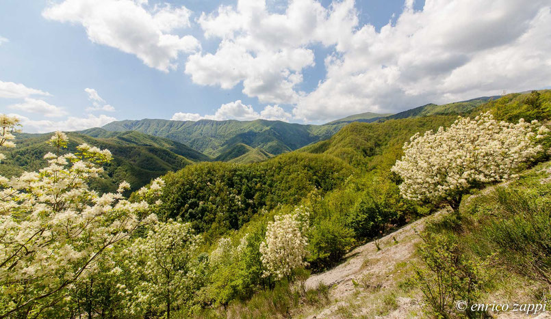 Parco Nazionale delle Foreste Casentinesi con fioriture di Orniello