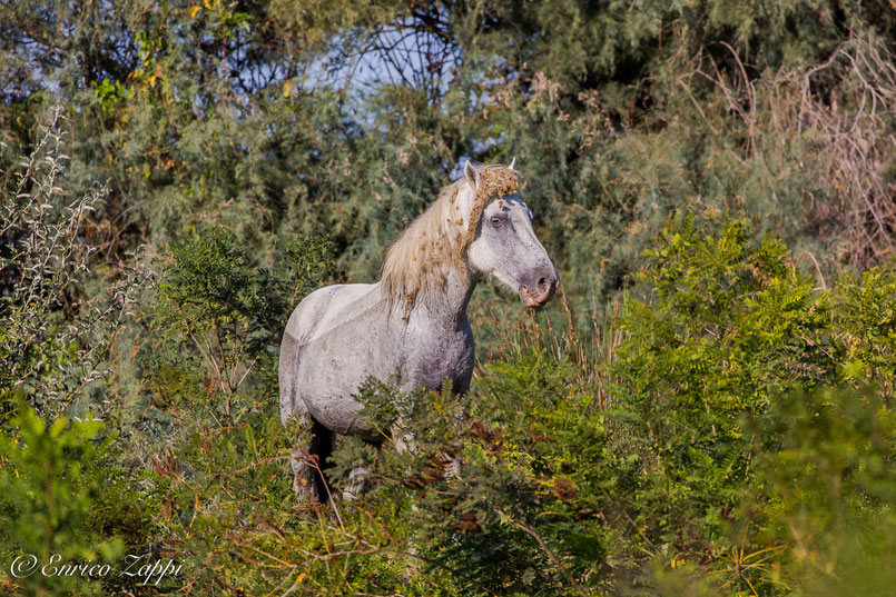 Cavallo delle Camargue a Boscoforte