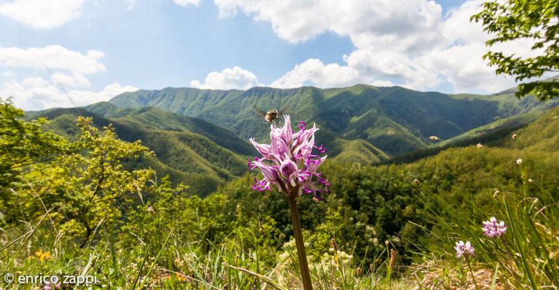 Orchidea scimmia (Orchis simia Lam., 1779) con dittero Bombilide che le sugge il nettare e dietro il palcoscenico meraviglioso del Crinale del Parco Nazionale delle Foreste Casentinesi.