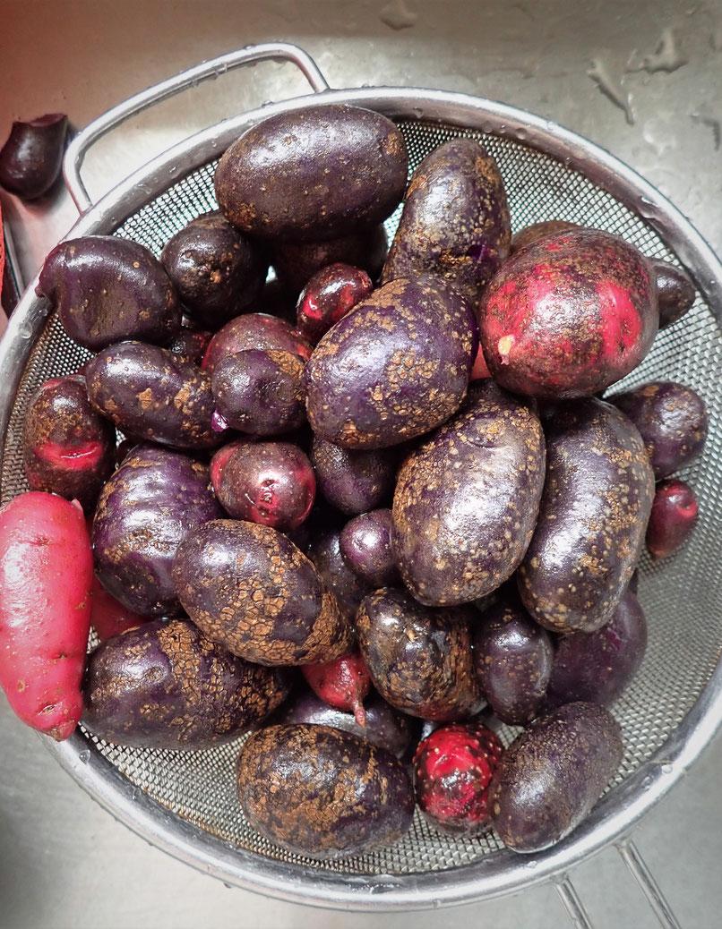 ジャガイモの無農薬栽培を学べる「さとやま農学校」は初心者の野菜作り教室です