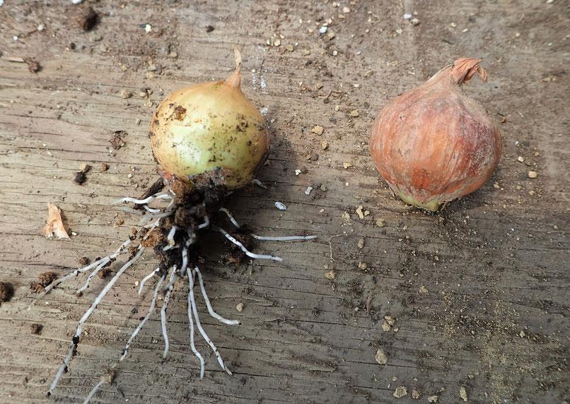 無農薬栽培のタマネギ・冬どりの球根の様子@さとやま農学校・すどう農園