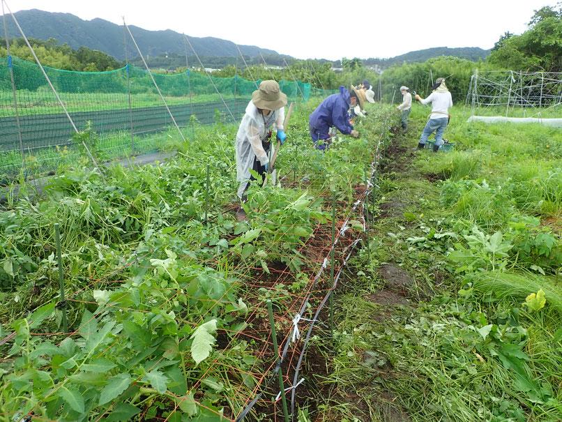 野菜作り教室でトマトの無農薬栽培を習う。