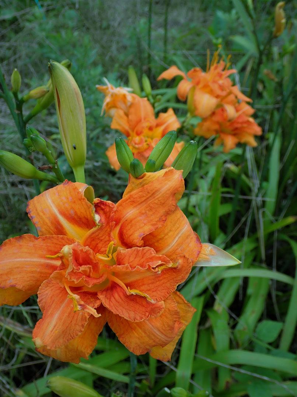 ノカンゾウの花は美味しい食材です。すどう農園にて