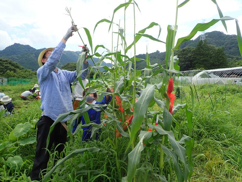 固定種のトウモロコシを自然栽培で育てる体験農園