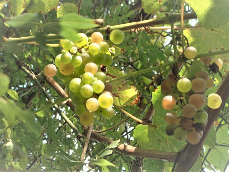 無農薬栽培のブドウ@街で自然農・世田谷ものづくり学校