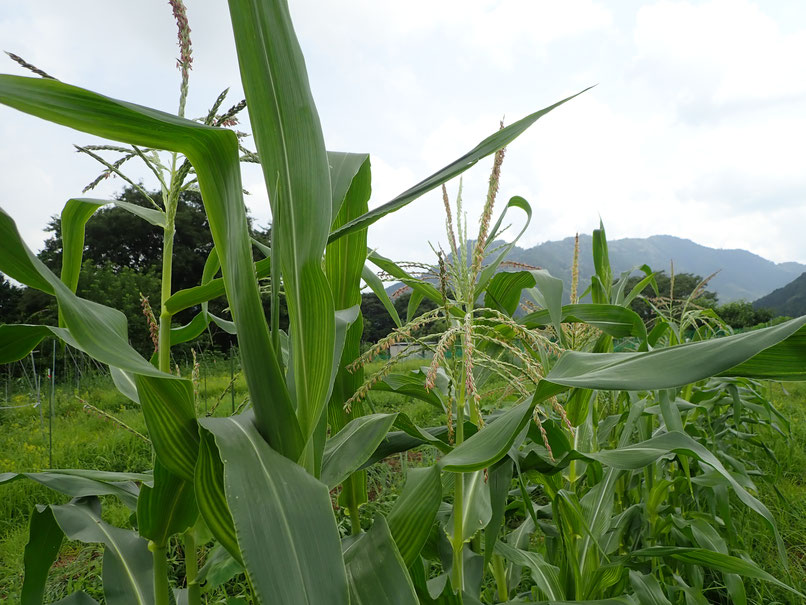 固定種トウモロコシの作り方を自然栽培で学ぶ。