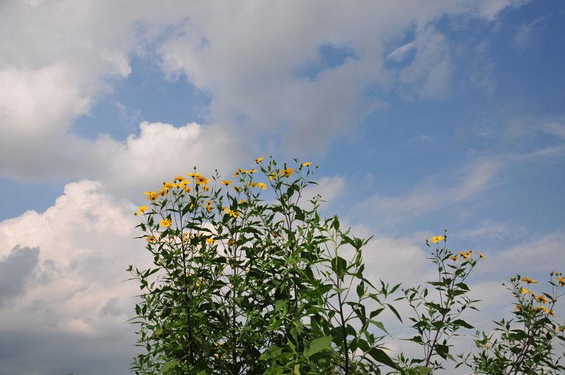 キクイモの自然栽培の畑。「自給のための無農薬の野菜づくり教室@さとやま農学校」
