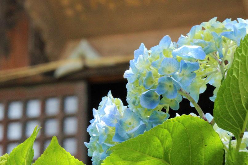 大法寺 紫陽花