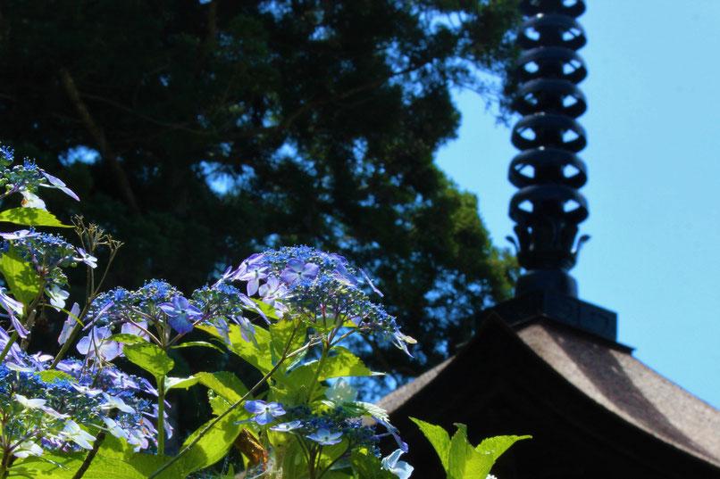 大法寺 紫陽花 三重塔