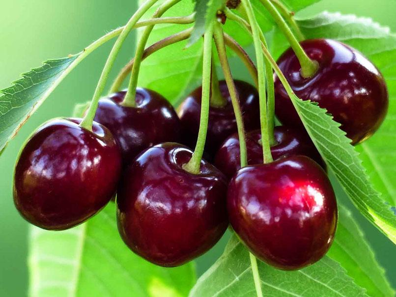 Ihre Vorteile - Dunkelrote Kirschen am Baum