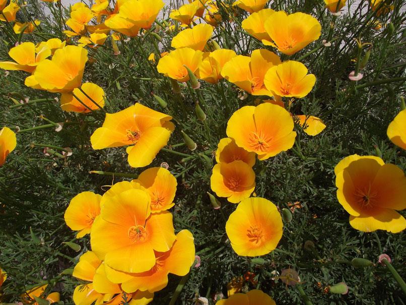 Yellow flowers, Exeter, Devon, England.