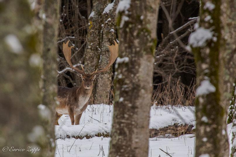 """Un bellissimo palancone in mezzo al bosco, a debita distanza, osserva se """"chi riprende"""" puo' essere o meno un pericolo........""""ma si rassicura e rimane!!"""""""