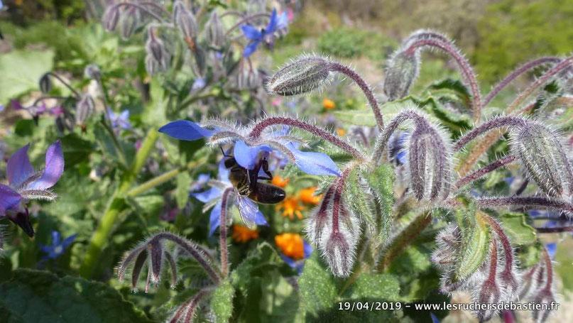 Fleur de Bourrache officinale et apis mellifera, Cévennes