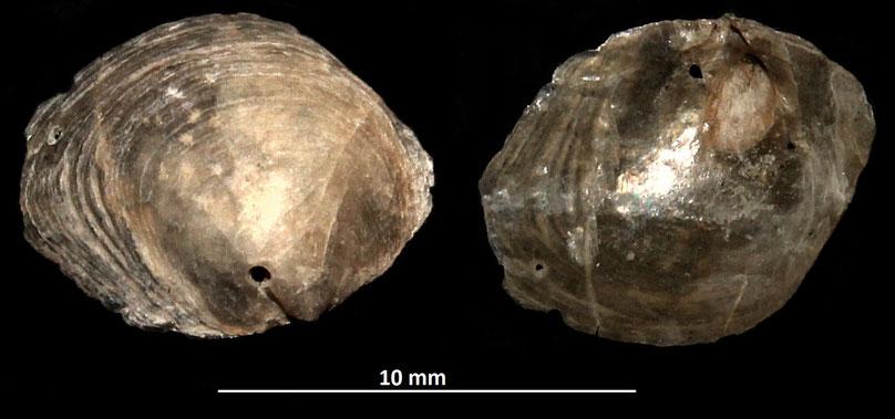 Pododesmus cfr. glaucus, Vignola (MO)