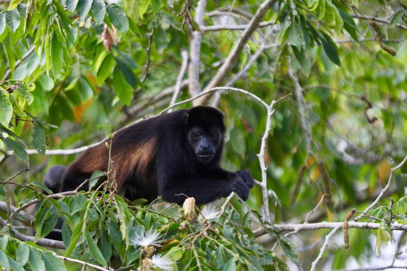 Howler monkey, photo: Tom Enderlin