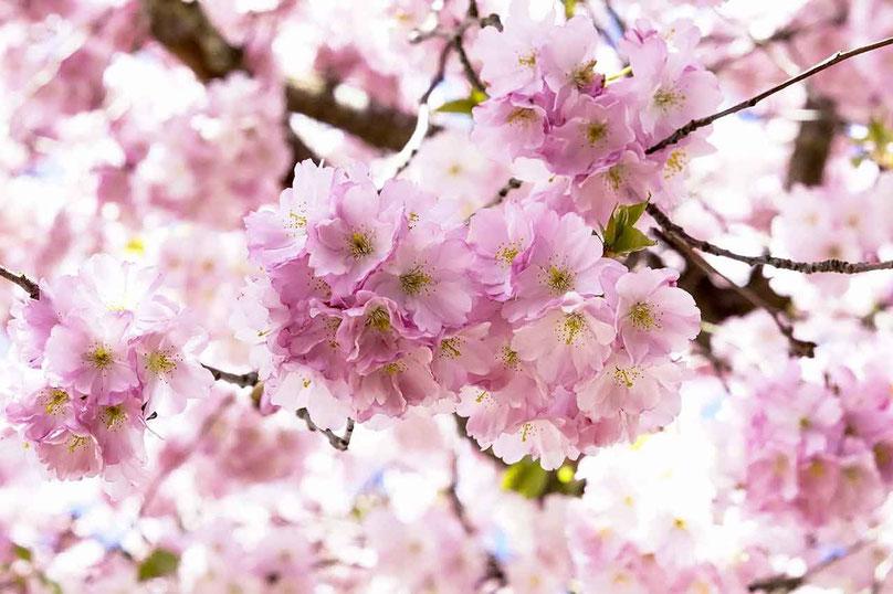 Naturseife Tipps - Kirschblüten
