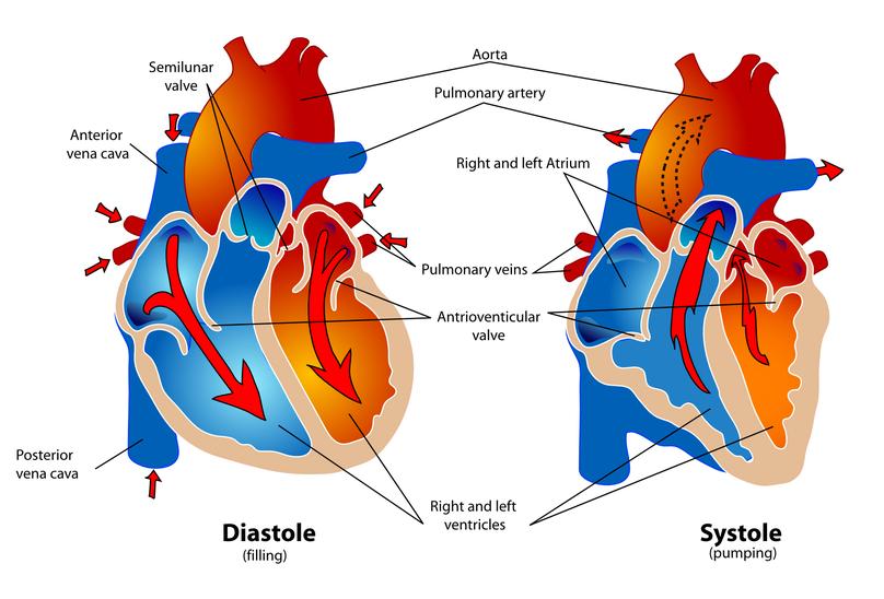 Funzionalità cardiovascolare