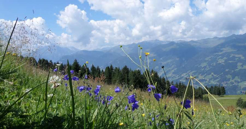 Berge in den Alpen und Alpenwiese mit Wiesenblumen