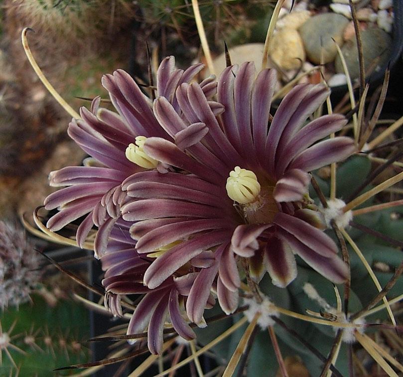 Glandulicatus uncinatus