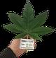 Buy cannabis plants in austria