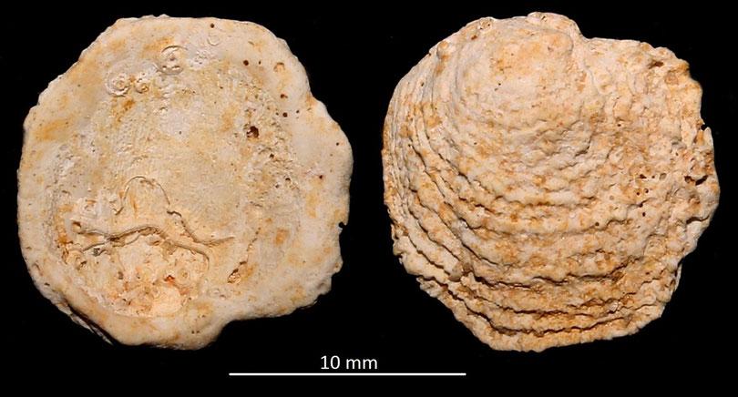 Chama degrangei, Miocene dell'Aquitania