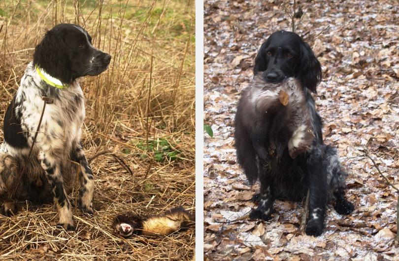 Ein erfolgreicher Jagdtag: Arven (links) mit Iltis und Akira (rechts) mit Marder (01/2013)