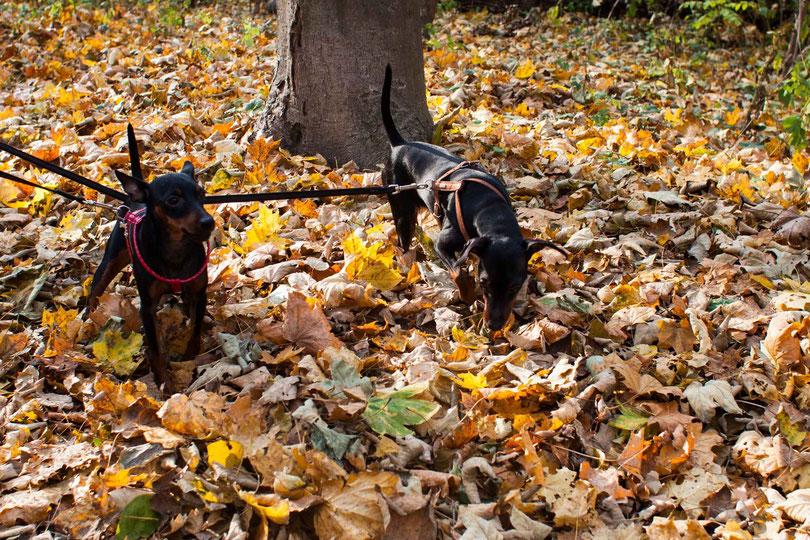 Ein Herbstspaziergang im Wiener Prater mit zwei Hunden