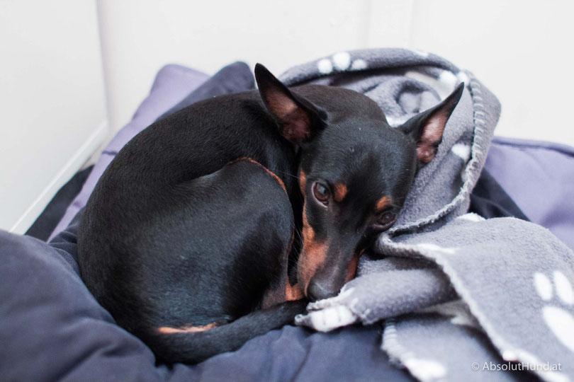 Mein Hund hat IBD, Krankheit Tierarzt