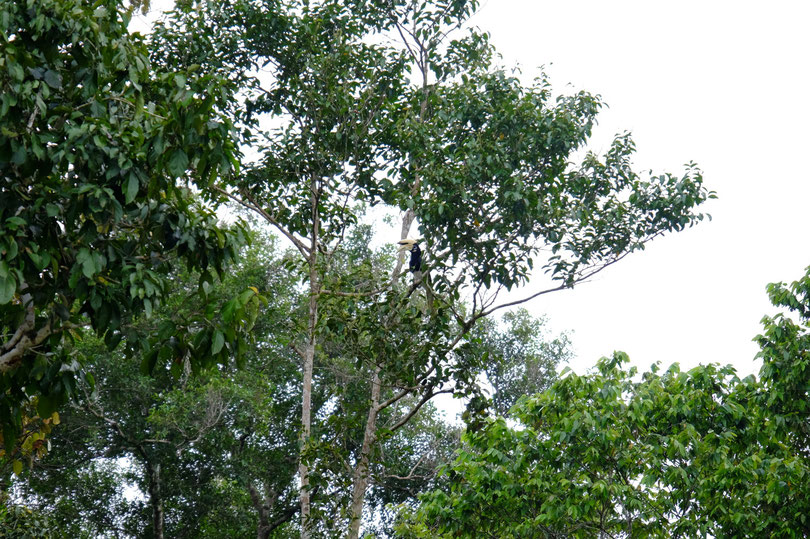Seht ihr ihn, diesen wunderschönen männlichen Hornbill -Nasenhorn Vogel?!