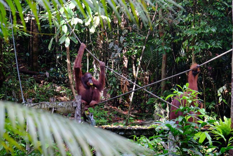 zum Fressen bekommen die Orang Utans Bananen, Süsskartoffel und Kokosnüsse…