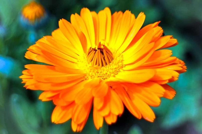 Naturseife - Ringelblume