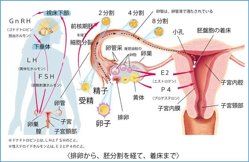 排卵から着床までのメカニズム、BT5、高温期11日目、基礎体温、人工受精、ステップダウンAIH、体外受精、東京、埼玉、神奈川、千葉、FSHが高い、FSHが低い、E2が低い、早期閉経、閉経、ルトラール太る