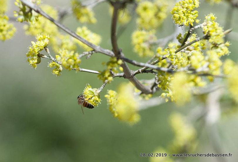 Cornouiller mâle et apis mellifera, Cévennes