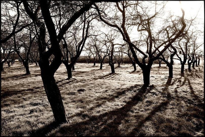 """Alte Apfelbäume bei Kriwitz (""""Kriwitzer Lachapfel"""")"""