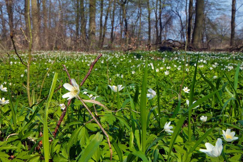 April: Buchenwald bei Jiggel