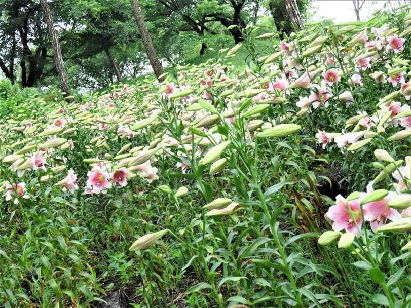 石川郡 平田村 ジュピアランド ひらた 世界 あじさい園 ゆり園