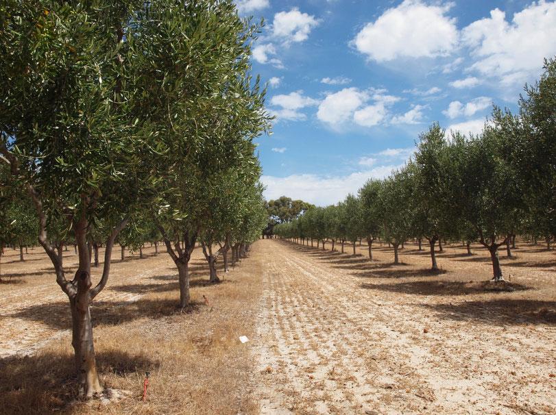 Olivenplantage Margret River