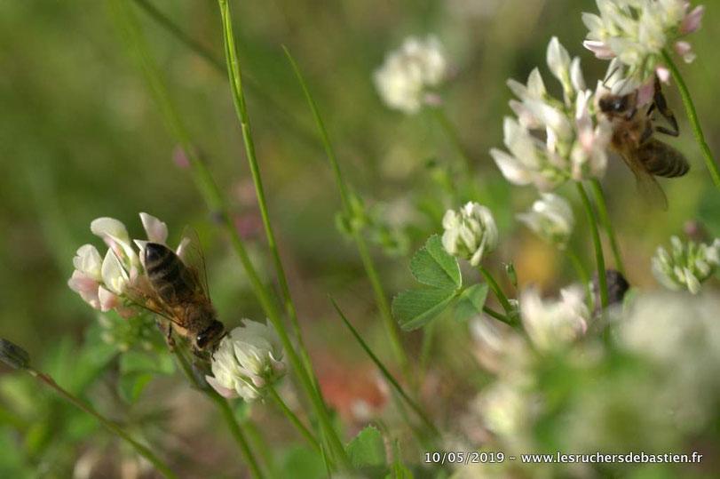 abeilles Apis mellifera sur fleurs de Trifolium repens Cévennes
