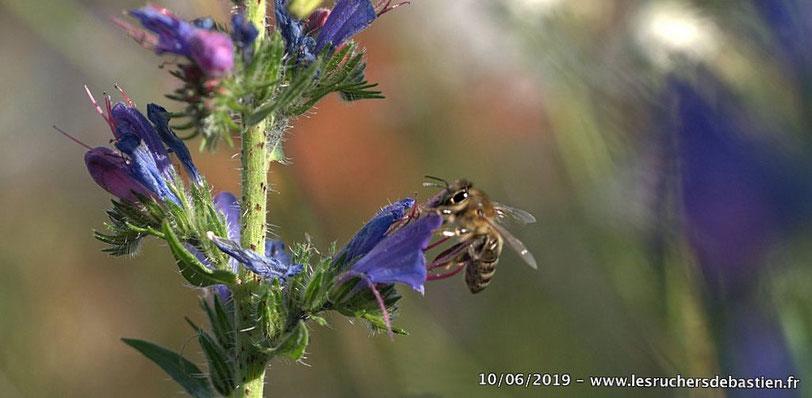 Apis mellifera & Echium vulgare, Cévennes