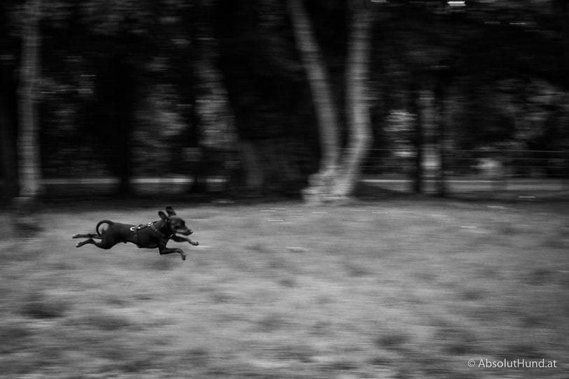 Hund beim Laufen, Zwergpinscher, Hundezone, Wien