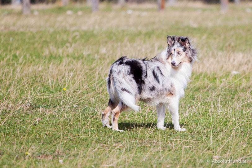 Hund, Collie,