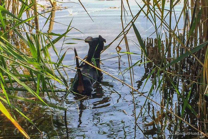 Pollux, Zweigpinscher im See auf Froschjagd
