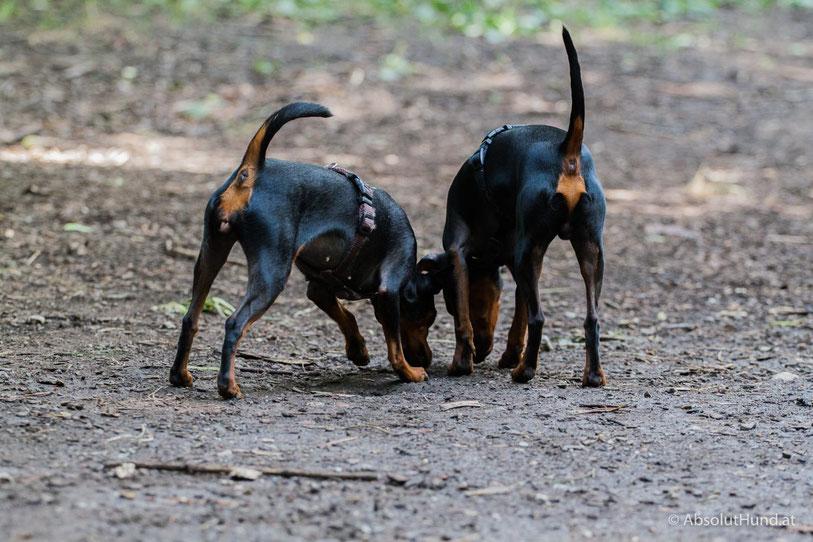 Pollux und Coco haben etwas gefunden, Hund, Zwergpinscher,
