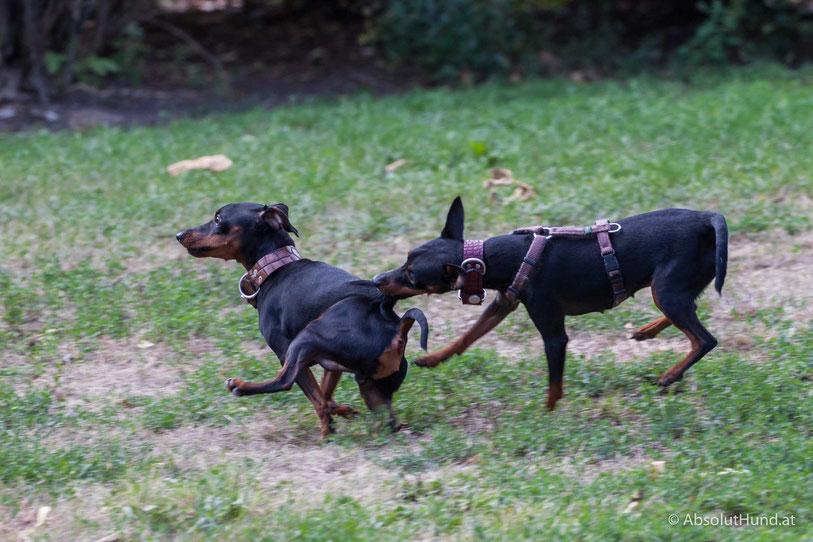 Zwei Zwergpinscher beim spielen, Hunde