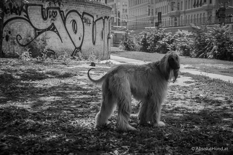 Afghanen Hund in SW