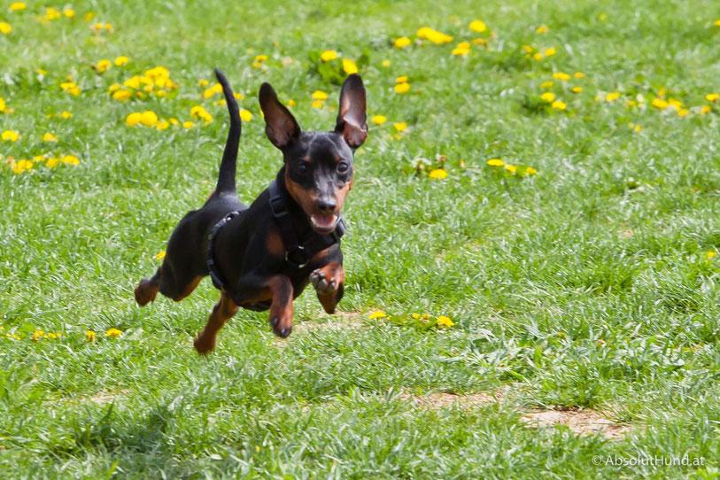 Pollux beim laufen, Zwergpinscher, Hund - AbsolutHund.at